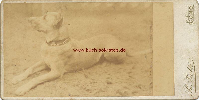 Hund / Deutsche Dogge aus Como (ca. 1900)
